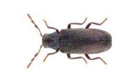 Carcoma-Anobium-punctatum-306x200-1-p1090glpwuba34ep60rukue3ituzbjp5g08nvmos6o